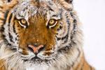 Siberian Tiger 12