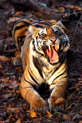 Bengal Tiger 4 by catman-suha