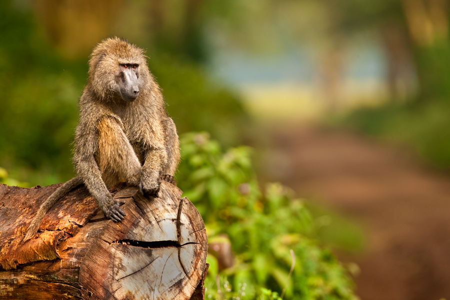 Baboon 2 by catman-suha