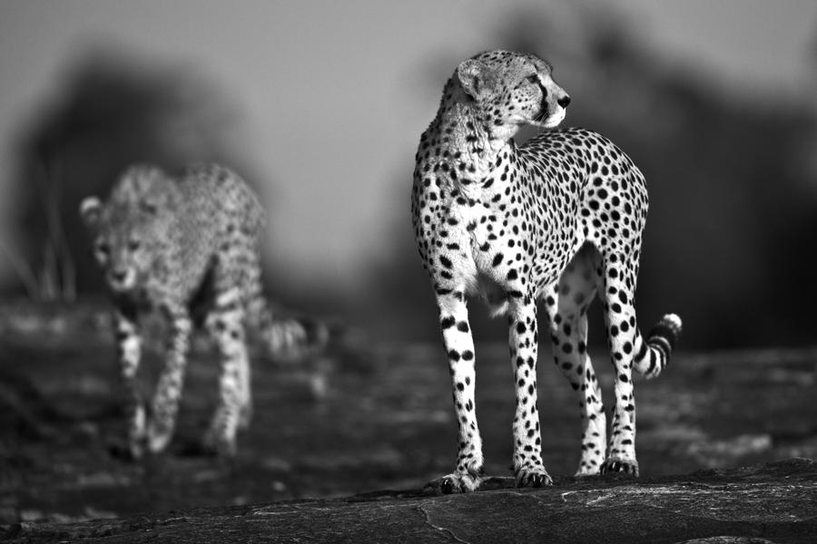Cheetah 31 by catman-suha