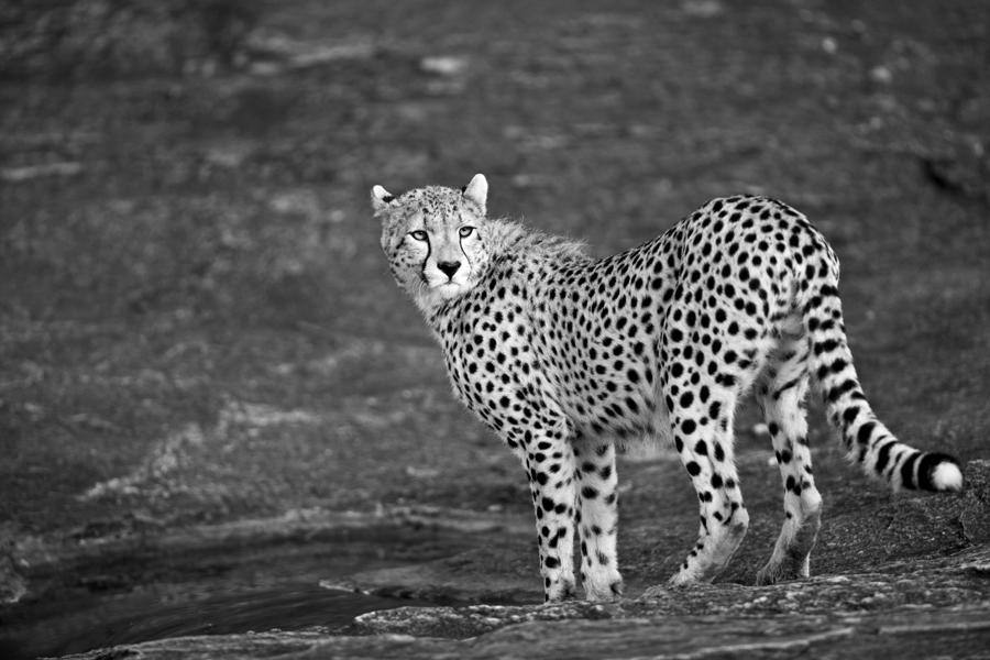 Cheetah 32 by catman-suha