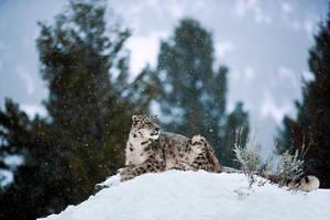 Snow Leopard 11