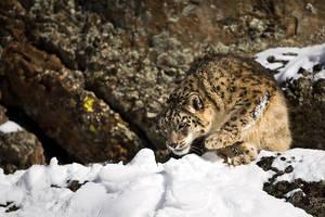 Snow Leopard 12 by catman-suha
