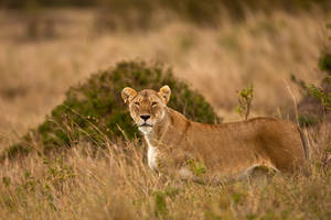 African Lion19 by catman-suha