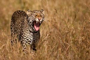 Leopard 20 by catman-suha