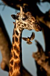 Giraffe and by catman-suha