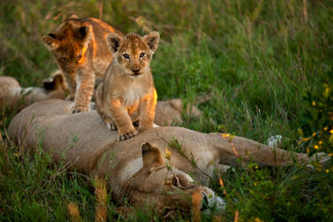 African Lion 31 by catman-suha