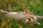 African Lion 34