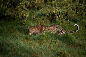 Leopard 23 by catman-suha
