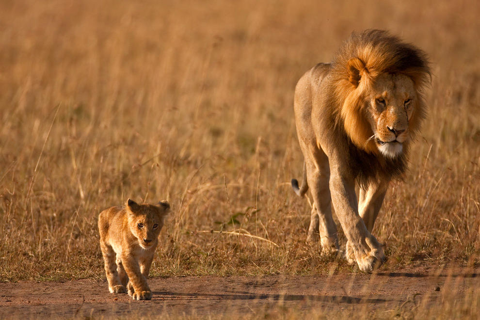 African Lion 39
