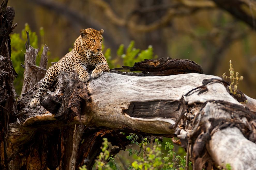 Leopard 24 by catman-suha