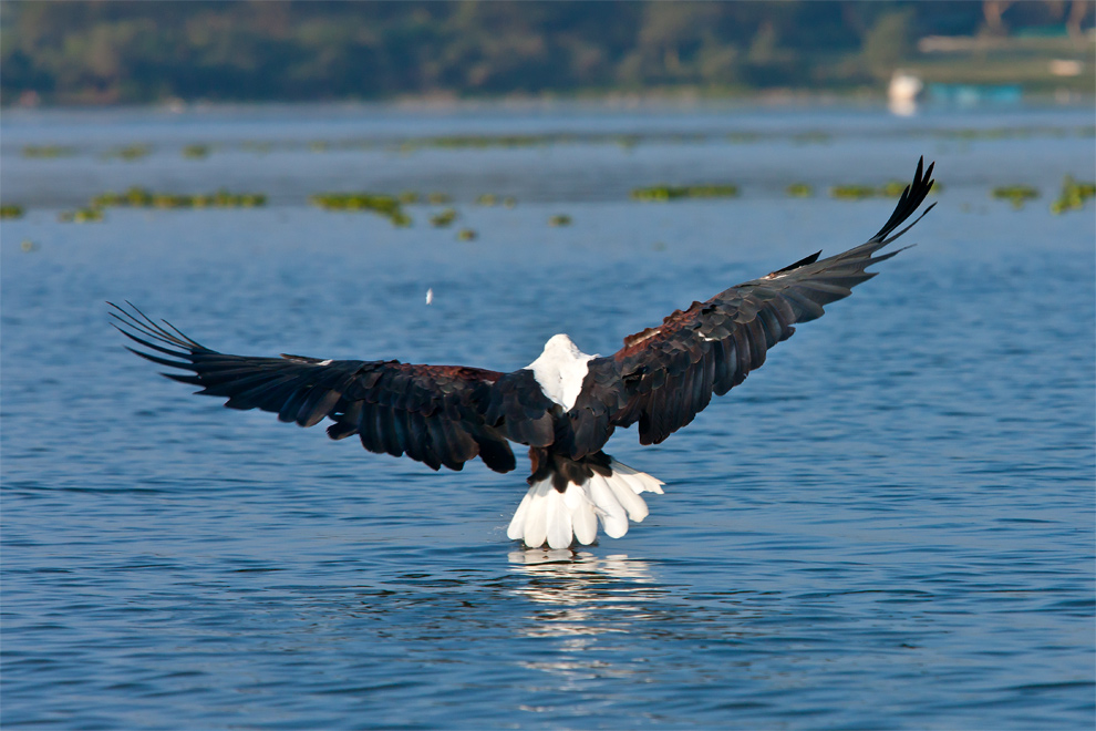 Fish Eagle 2 by catman-suha