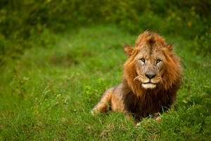 African Lion 58 by catman-suha
