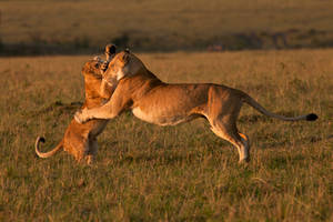 African Lion 61 by catman-suha