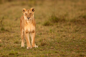 African Lion 63 by catman-suha