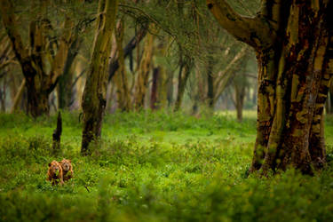 African Lion 65 by catman-suha