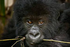 Mountain Gorilla 14 by catman-suha