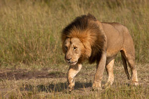 African Lion 75 by catman-suha