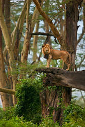 African Lion 77