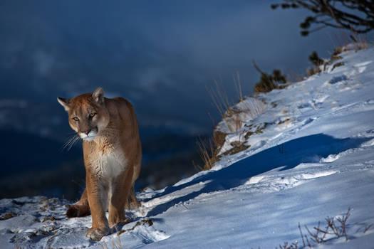 Puma concolor 25