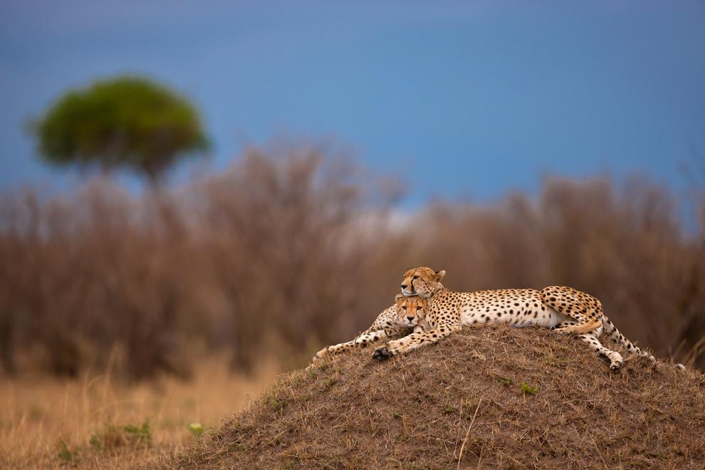 Cheetah 53 by catman-suha