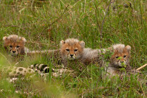 Cheetah 55 by catman-suha