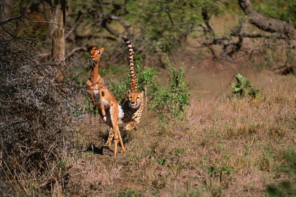 Cheetah Day 002 by catman-suha