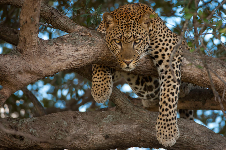 Leopard 45 by catman-suha