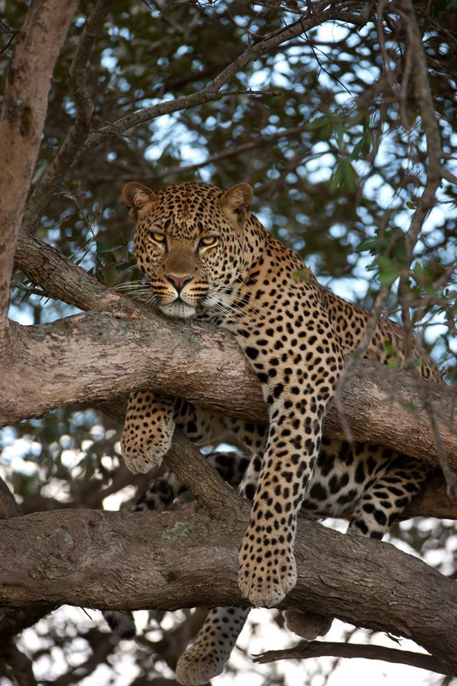Leopard 46 by catman-suha