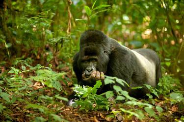 Mountain Gorilla 18 by catman-suha