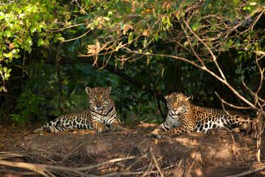 Jaguar 08 by catman-suha