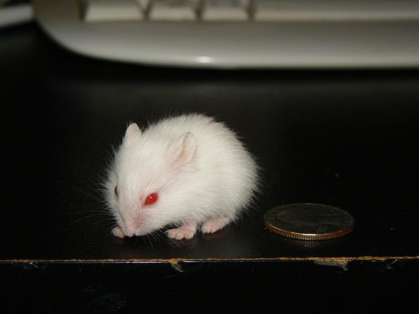 White Baby Hamster 2 by ShadedRain on DeviantArt