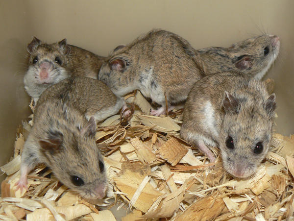 Hamster Breeds Questions including Do female hamsters