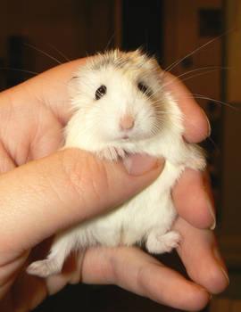 Roborovski Hamsters 6