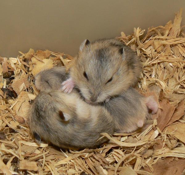 2 week old dwarf hamsters 2 by shadedrain on deviantart