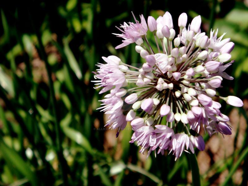 Fleur Lilas Legere By Allieactress101 On Deviantart