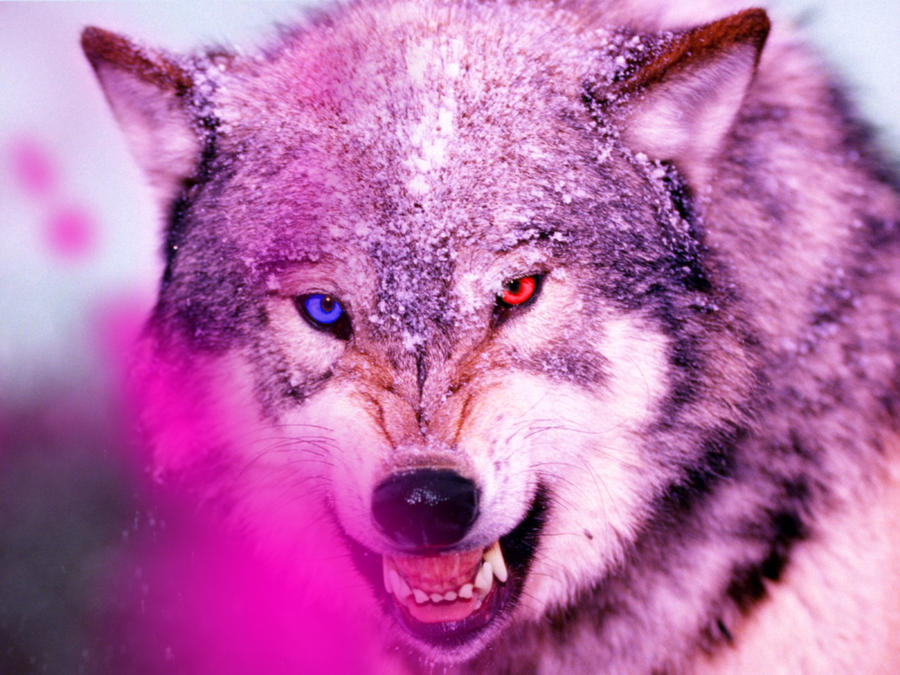 pin wallpaper cool wolf - photo #3