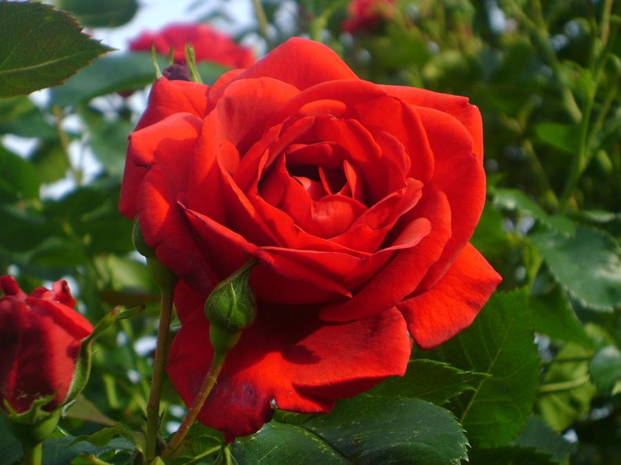 Sunset Rose by BansheeHowl
