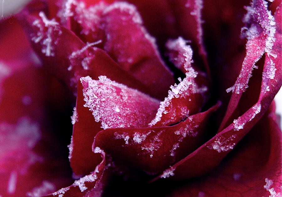 Frozen Rose by Chamandra