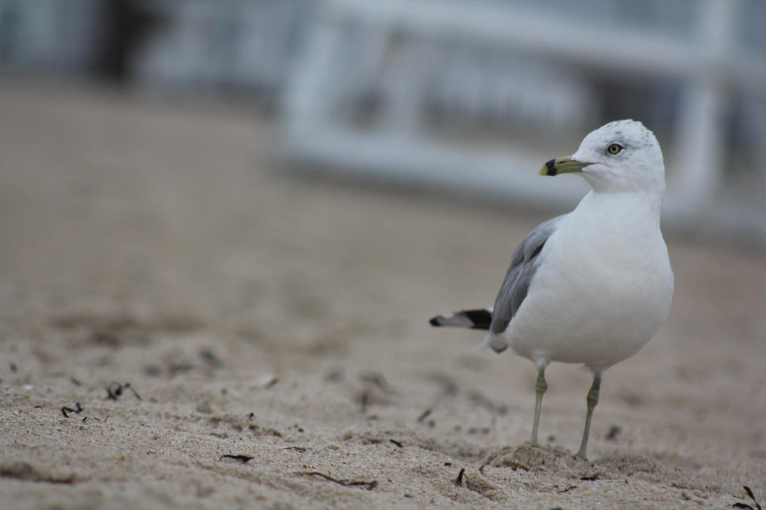 Gull on The Beach by NocturnalScribe