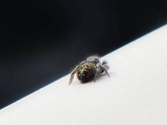 Jumping Spider 3 by Misty2007