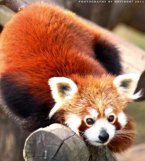 Red Panda by Havidor