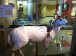 Albino Spotted Deer