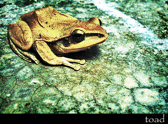 golden toad by nixelz