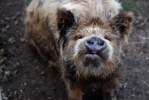 Ewok Pig by kawaiimon