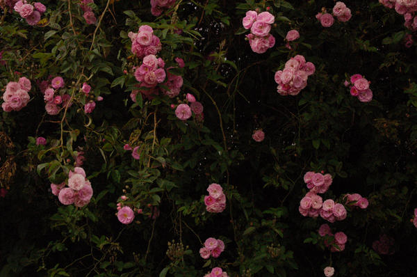 Roses background by Armathor-Stock