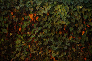Ivy Wall by Armathor-Stock