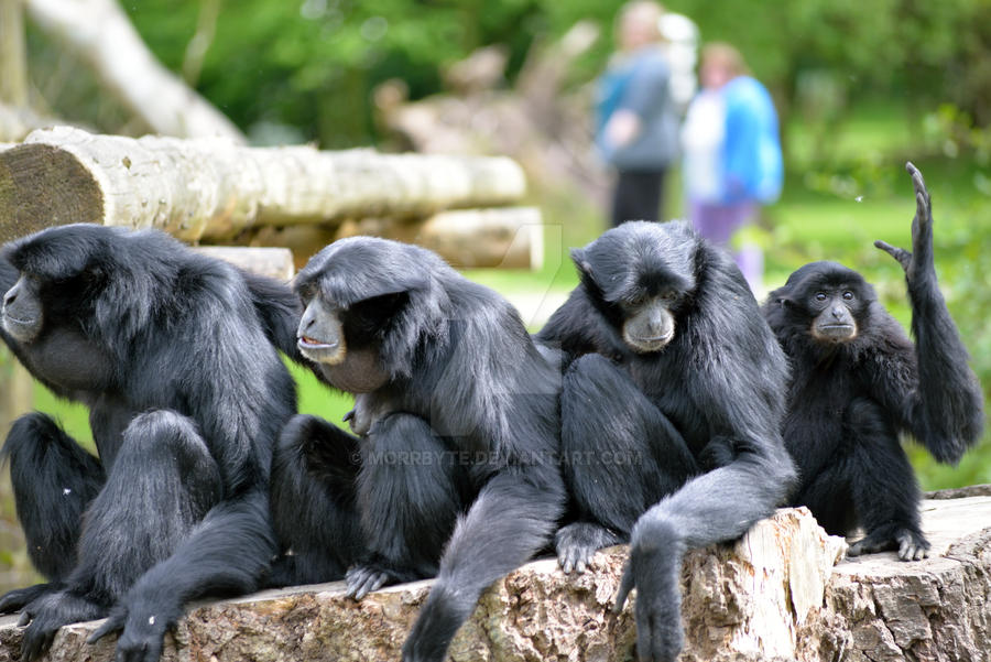 Siamang Gibbon family relaxing in fota wildlife pa by morrbyte