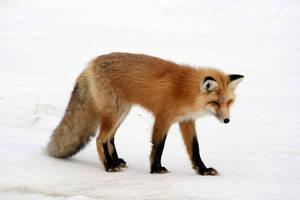 Foxy02 by trstmsn