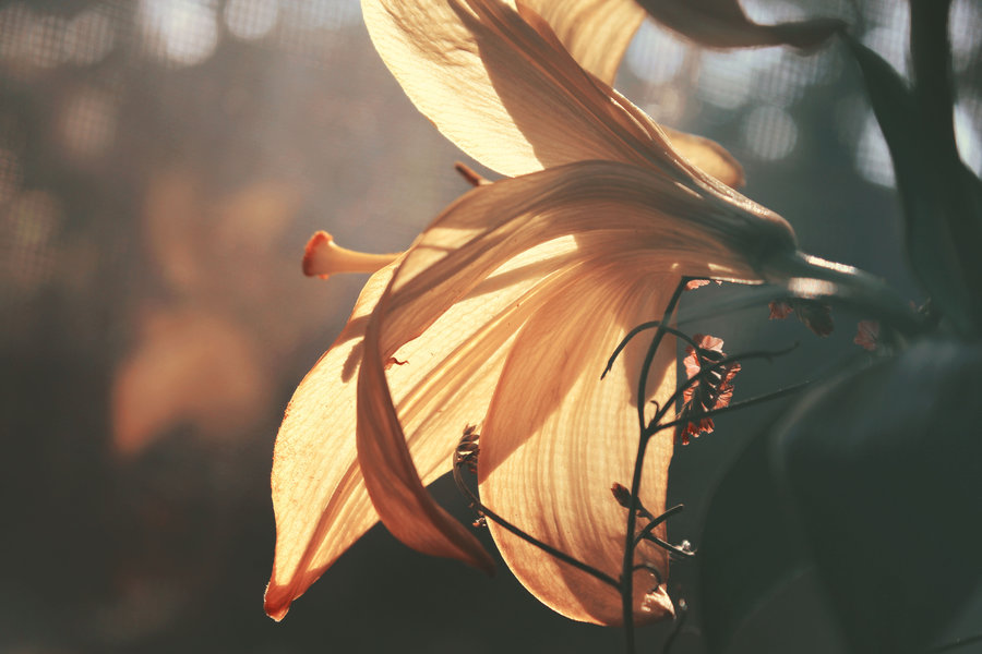 Lily by crystalcleargfx